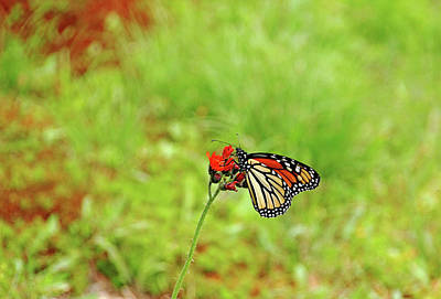 Photograph - Devil's Paintbrush And Monarch by Debbie Oppermann