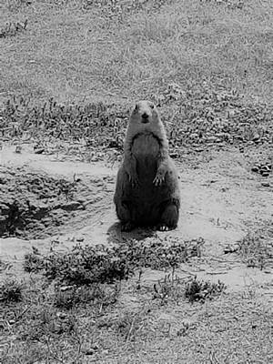 Photograph - Devil's Tower Prairie Dog B W by Rob Hans