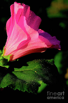 Music Royalty-Free and Rights-Managed Images - Dew-Covered Blossom by Thomas R Fletcher