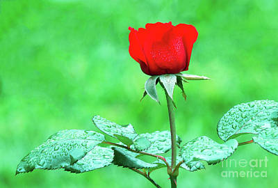Photograph - Dew-covered Red Rose by Ram Vasudev