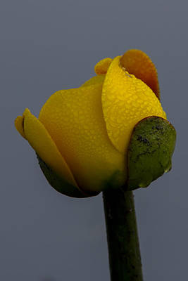 Photograph - Dew Covered Yellow Water Lily by Vance Bell