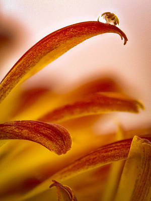 Photograph - Dew Drop On Mum by Jean Noren