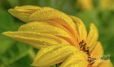 Photograph - Dew Droplets On Sunflower by Cheryl Baxter