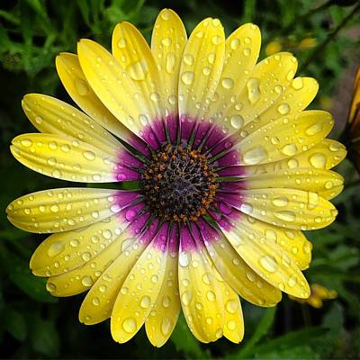 Photograph - Dew Dropped Daisy by Brian Eberly
