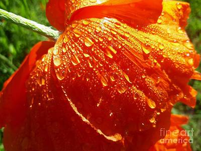 Photograph - Dew Drops On A Poppy by Cheryl Baxter