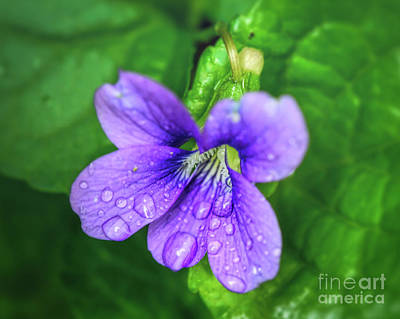 Photograph - Dew Drops On A Violet by Kerri Farley