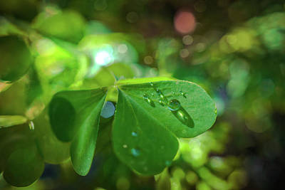 Photograph - Dew Drops On Clover Leaf by Lilia D