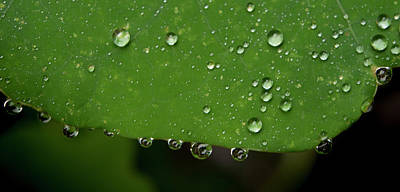 Photograph - Dew Drops On Nasturtium Leaf by Jean Noren