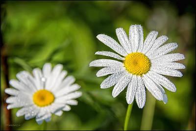 Flora Photograph - Dew Kissed Daisy by LeeAnn McLaneGoetz McLaneGoetzStudioLLCcom
