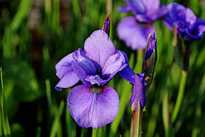 Photograph - Dew Kissed Iris by Debbie Oppermann