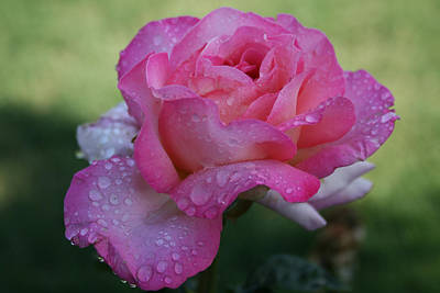 Photograph - Dew-kissed Rose by JoDee Luna