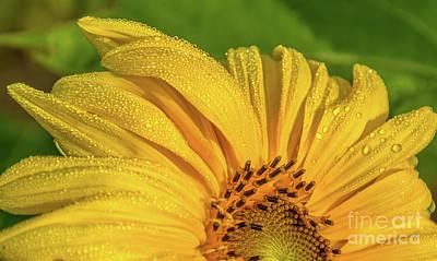 Photograph - Dew On Sunflower Petals by Cheryl Baxter