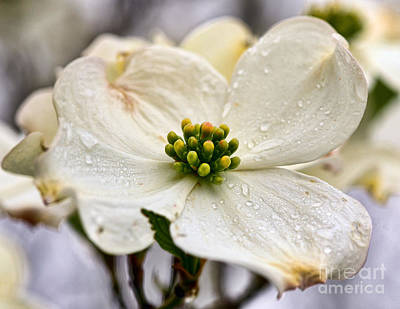 Photograph - Dew On The Dogwood by Kerri Farley