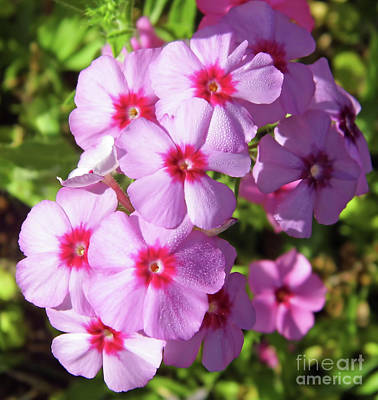 Photograph - Dew On The Pink Phlox by D Hackett