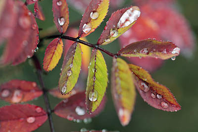 Dew On Wild Rose Leaves In Fall Art Print by Darwin Wiggett