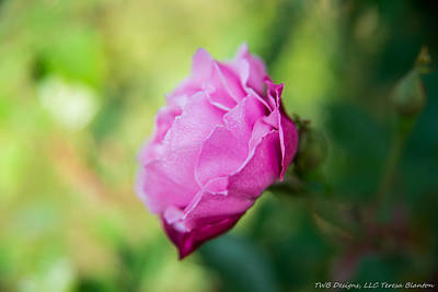 Photograph - Dew Print Rose by Teresa Blanton