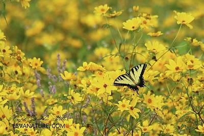 Photograph - Dewey Creek 1010 Eastern Tiger Swallowtail by Captain Debbie Ritter
