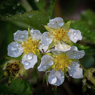 Photograph - Dewy Blossoms  by David Heilman
