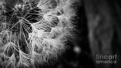Photograph - Dewy Dandelion Seed Head by Cheryl Baxter