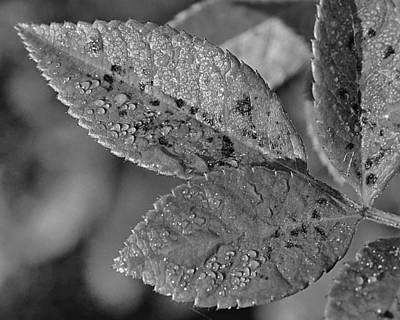 Photograph - Dewy Leaves by Lori Pessin Lafargue