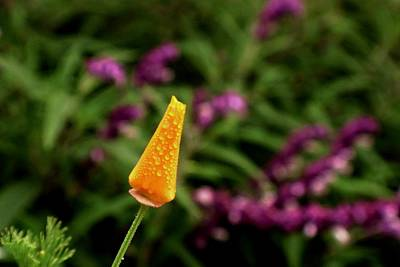 Photograph - Dewy Poppy Bud by Lynda Anne Williams
