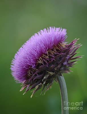 Photograph - Dewy Thistle by Maria Urso