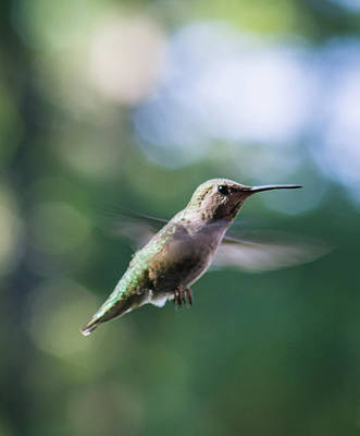 Photograph - Hummingbird In Flight 3 by Marilyn Wilson