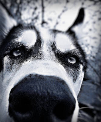 Dog Close-up Photograph - Diabolical Damien  by Celestial  Blue