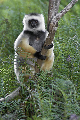Photograph - Diademed Sifaka by Michele Burgess