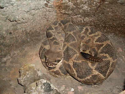 Diamondback Rattlesnake Original