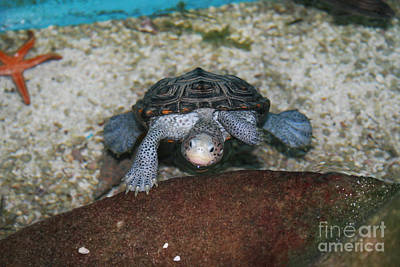 Photograph - Diamondback Terrapin by Lynn Jackson