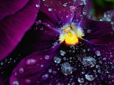 Photograph - Diamonds On A Pansy by Rachel Mirror