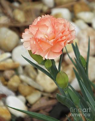 Photograph - Dianthus 1 by Lizi Beard-Ward