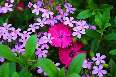 Photograph - Dianthus And Soapwort by Kathryn Meyer