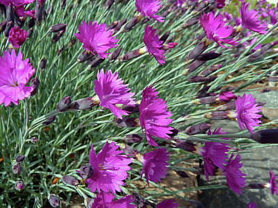 Photograph - Dianthus Firewitch by Donna Kennedy