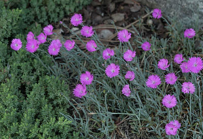 Photograph - Dianthus Firewitch by Rick Mosher