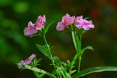 Photograph - Dianthus Flowers by Salman Ravish