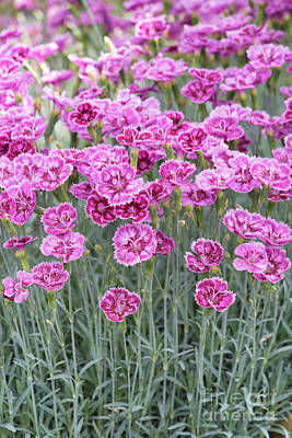 Photograph - Dianthus Gold Dust Flowers by Tim Gainey