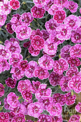 Dianthus Gold Fleck Art Print by Tim Gainey