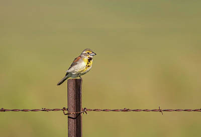 Photograph - Dickcissel 2017-4 by Thomas Young