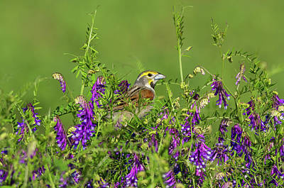 Photograph - Dickcissel - 8256 by Jerry Owens