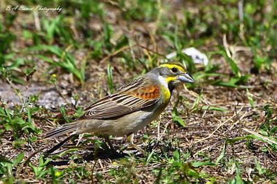 Birdwatching. B A Bowen Photograph - Dickcissel by Barbara Bowen