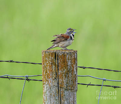 Photograph - Dickcissel  by Elizabeth Winter