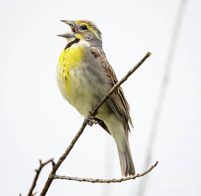 Photograph - Dickcissel  by Ricky L Jones