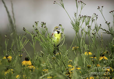 Photograph - Dickcissel With Mexican Hat by Robert Frederick