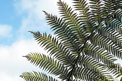 Photograph -  Dicksonia Frond by Tim Gainey