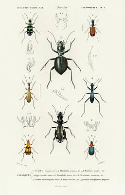 Painting - Different Illustrated Types Of Beetles by Charles Dessalines D' Orbigny