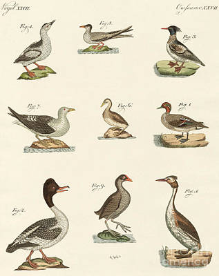 Different Kinds Of Waterbirds Art Print by German School