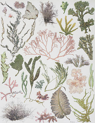 Alga Drawing - Different Strains Of Seaweed. From by Vintage Design Pics