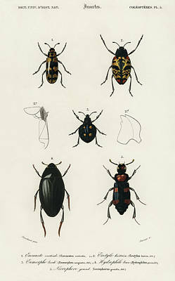 Painting - Different Types Of Illustrated Beetles by Charles Dessalines D' Orbigny